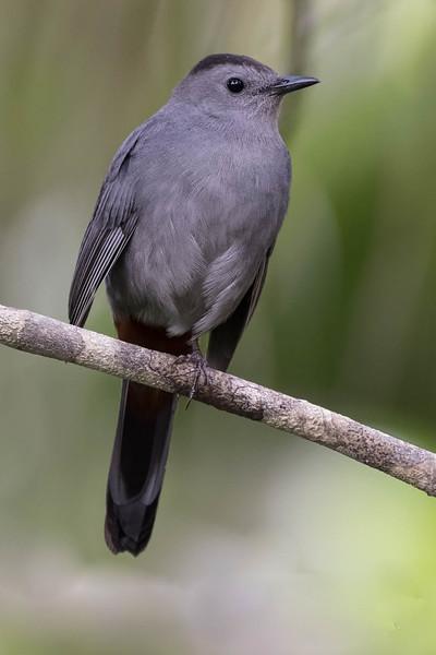 Grey Catbird<br /> Location: Sarasota county, FL