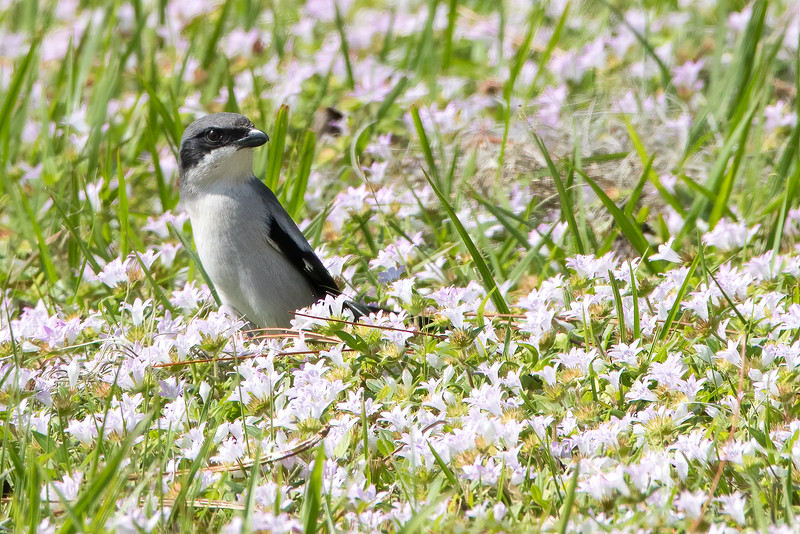 Loggerhead Shrike<br /> Sarasota county, FL<br /> Nathan Bendersen Park