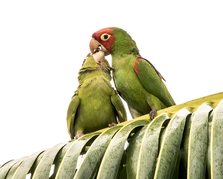 Red-masked Parakeet (juvenile & parent)<br /> Miller Park Roost - Miami, FL<br /> Miami-Dade county