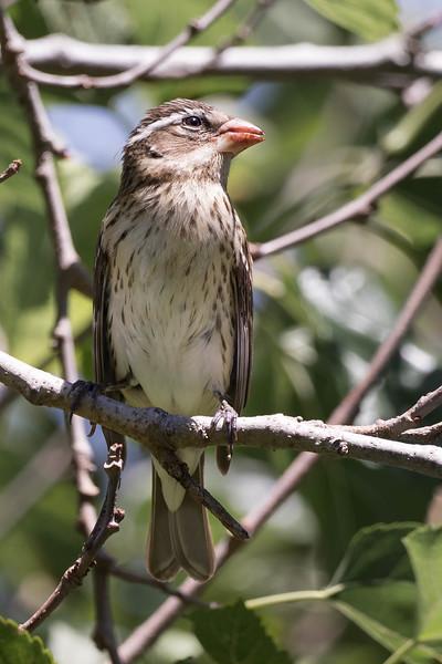 Rose-breasted Grosbeak (female)<br /> Location:  Pinellas county FL