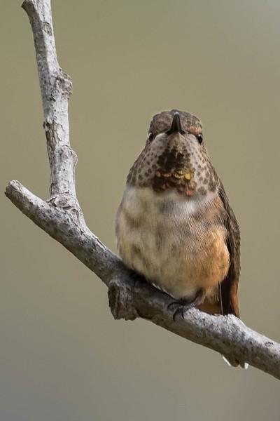 Allen's x Rufous Hummingbird<br /> Location:  San Diego county,  CA