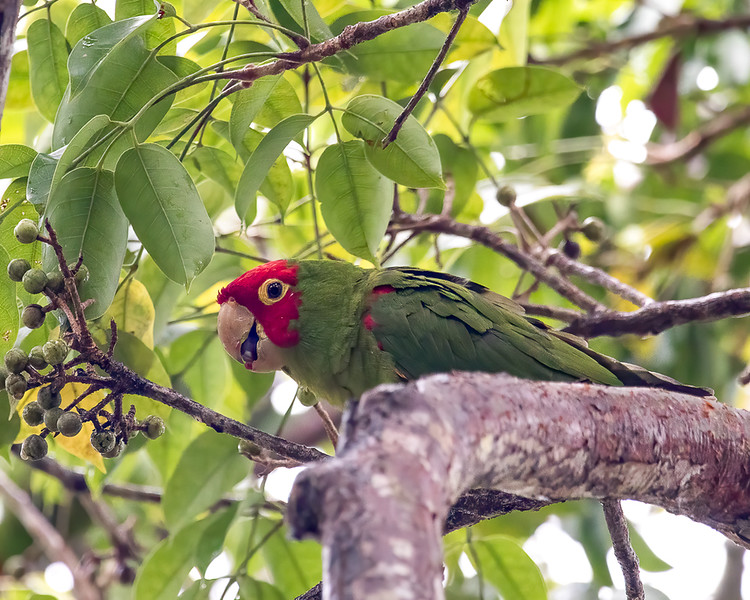 Red-masked Parakeet<br /> Miller Park Roost - Miami FL<br /> Miami-Dade county