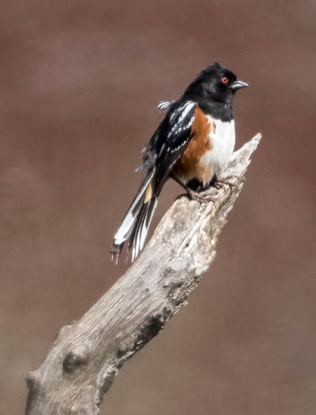 Spotted Towhee<br /> Location:  San Diego county, CA
