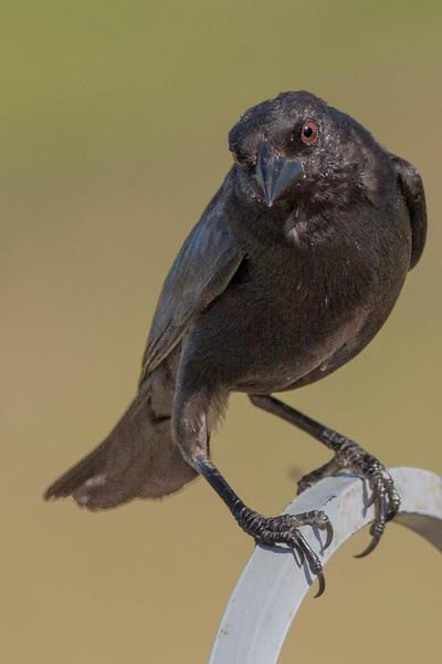 Bronzed Cowbird<br /> Location:  Sarasota county, FL