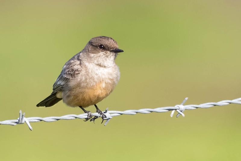 Say's Phoebe<br /> Location:  San Diego county,  CA