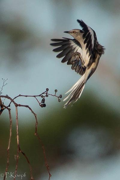 Eastern Bluebird (female)<br /> Location:  Sarasota county, FL