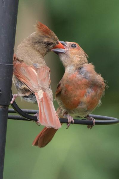 Northern Cardinal (feeding a fledgling)<br /> Location:  Sarasota county, FL