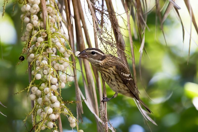 Rose-breasted Grosbeak (female)<br /> Key West Tropical Forest & Botanical Garden - Key West, FL<br /> Monroe county
