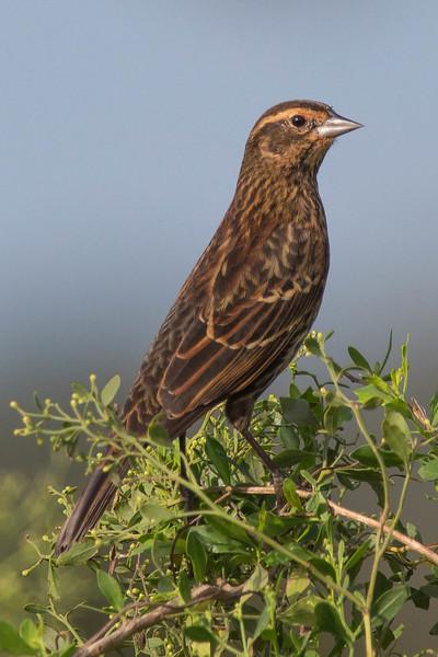 Red-winged Blackbird<br /> Location: Sarasota county, FL
