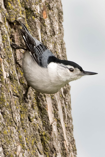 White-breasted Nuthatch<br /> Location: Michigan