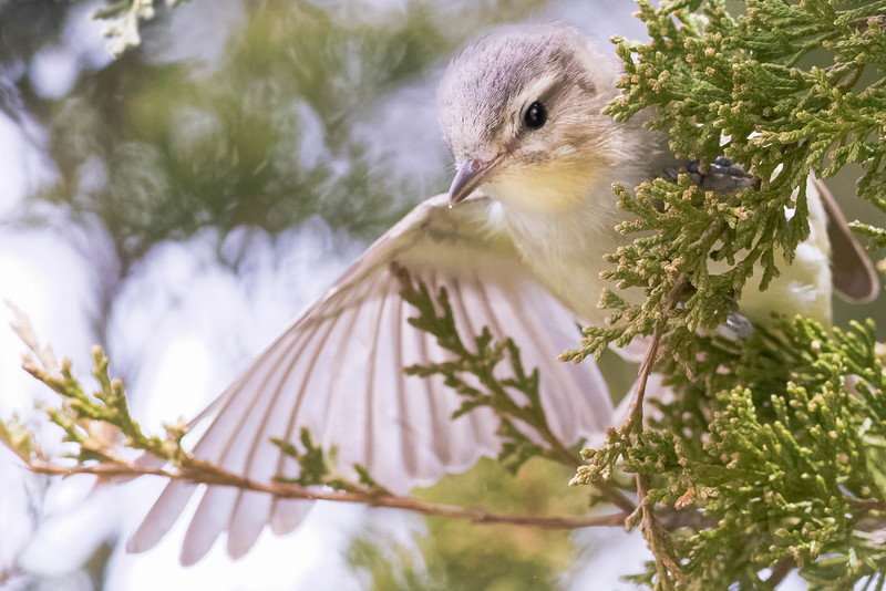Warbling VIreo<br /> Location: Point Pelee, Ontario, Canada