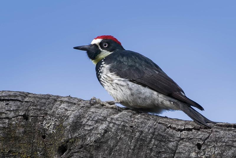 Acorn Woodpecker<br /> Location:  San Diego county,  CA