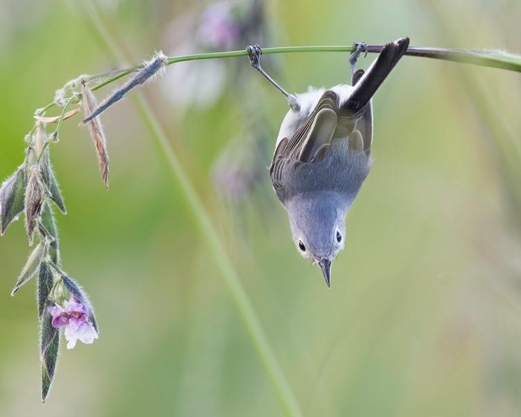 Blue-gray Gnatcatcher<br /> Location: Sarasota County, FL