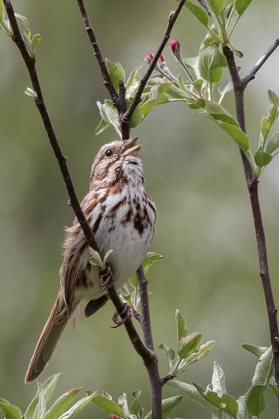 Song Sparrow<br /> Location: MIchigan