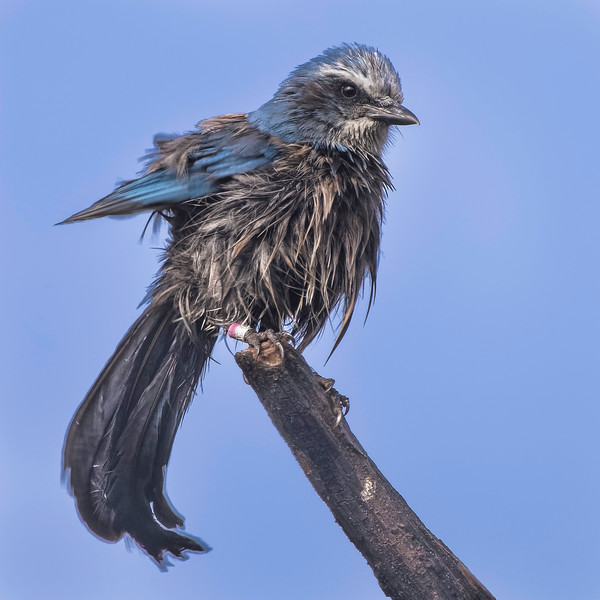 Florida Scrub Jay<br /> Location: Sarasota County, FL