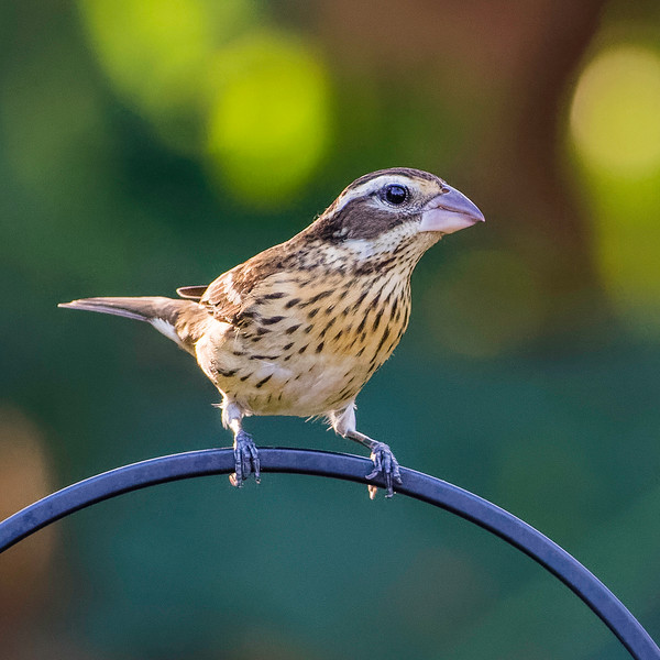 Rose-breasted Grosbeak (female)<br /> Location: Sarasota County, FL