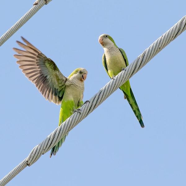 Monk Parakeets<br /> Sarasota county, FL<br /> Nathan Benderson Park