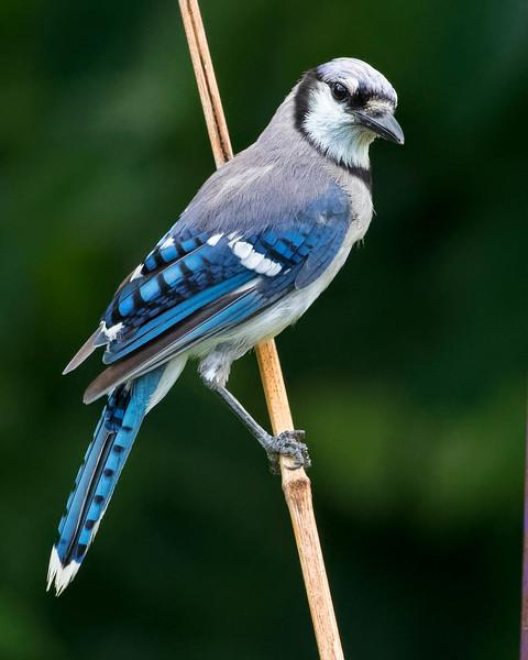 Blue Jay on bamboo<br /> Location: Sarasota county, FL