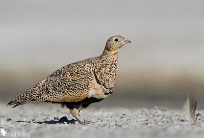 Black-bellied Sandgrouse - tumbing series.