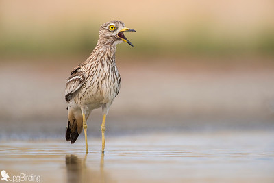 Eurasian Stone-curlew