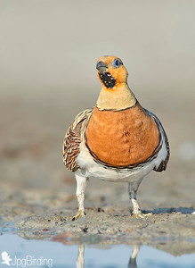 Pin-tailed Sandgrouse - tumbing series.