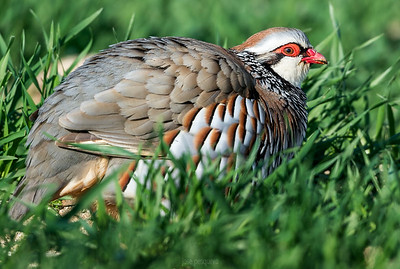 The Red-legged Partridge breeds on dry lowlands, such as farmland and open stony areas, laying its eggs in a ground nest.