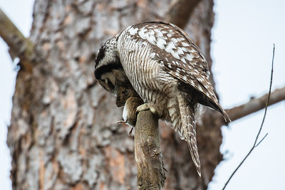 Northern Hawk-Owl - Lunch