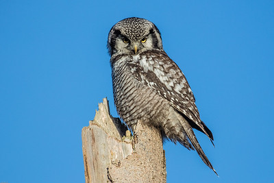 Northern Hawk Owl - Høgeugle