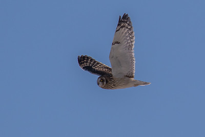 Short-eared Owl - Mosehornugle
