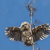 Tawny Owl - Natugle
