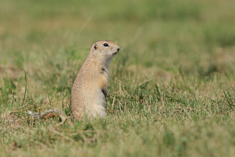 Urocitellus undulatus - Langstaartgrondeekhoorn - Long-tailed ground squirrel