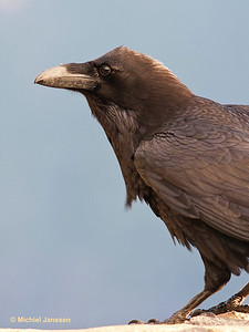 Corvus corax - Raaf - Northern Raven - Cuervo común