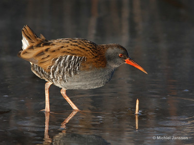 Rallus aquaticus - Waterral - Water Rail - Rascón europea