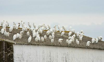 Bubulcus ibis - Koereiger - Cattle Egret - Garcilla bueyera