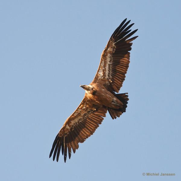 Gyps fulvus - Vale gier - Gryffon Vulture - Buitre leonado