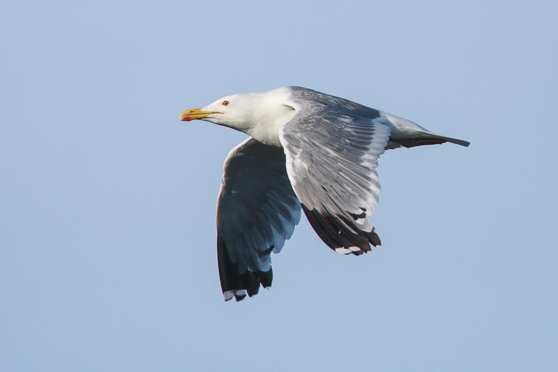 Larus vegae mongolicus - Mongoolse meeuw - Mongolian gull