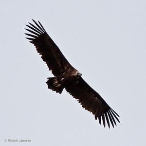 Aegypius monachus - Monniksgier - Cinereous Vulture (European Black Vulture) - Buitre negro