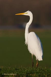 Ardea alba - Grote zilverreiger - Great Egret - Garza blanca