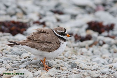 Charadrius hiaticula - Bontbekplevier - Ringed plover