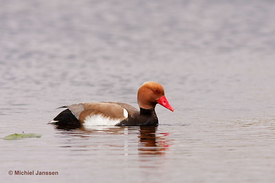 Netta rufina - Krooneend - Red-crested Pochard - Pato colorado