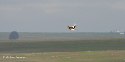Otis tarda - Grote trap - Great Bustard - Avutarda