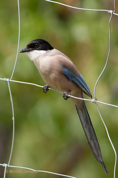 Cyanopica cooki - Blauwe ekster - Iberian Azure-winged Magpie - Rabilargo