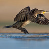 Cormorant leaving the water.