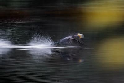Cormorant-European Shag
