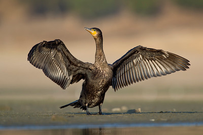 Cormorant-European Shag... Open wins