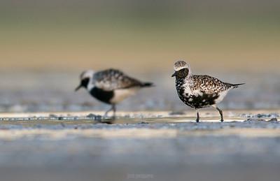 Grey plover (Pluvialis squatarola) - summer plumage