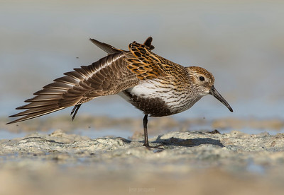 Dunlin (Calidris alpina) - summer plumage