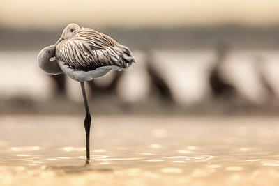 Flamingo (young) - Phoenicopterus