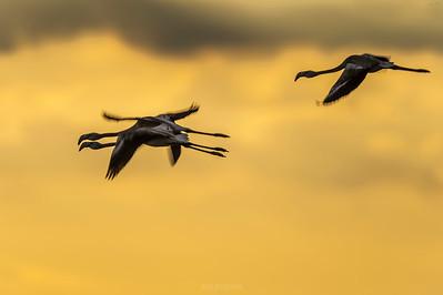 Flamingo (young) - Phoenicopterus