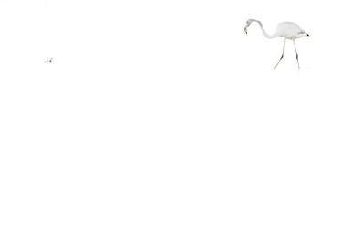 Flamingo - Phoenicopterus